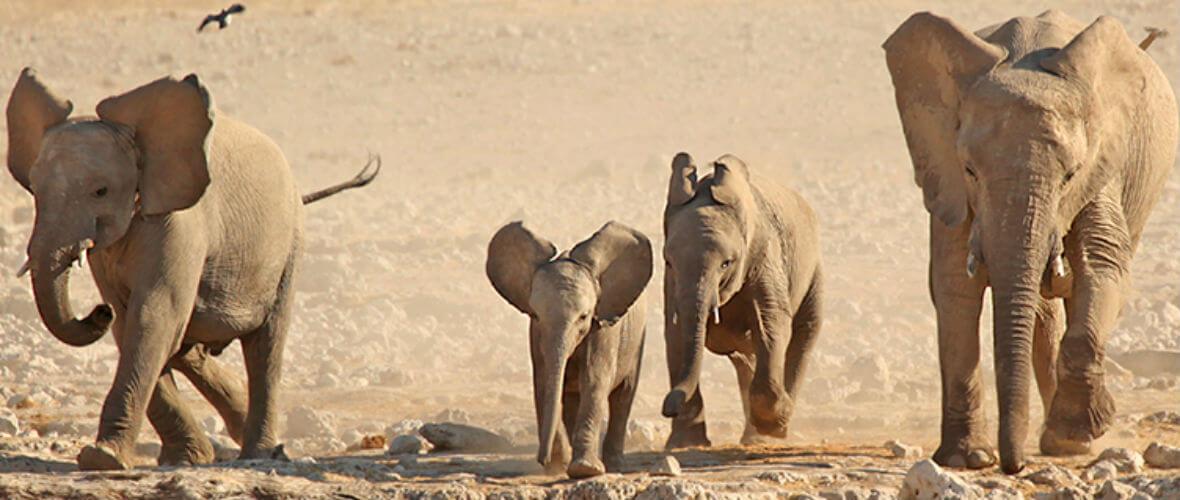 namibya turu etosha elephants Büyüleyici ve Lüks Namibya  Turu